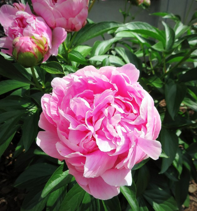 The Little Things - Post 3 - Peonies